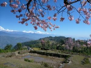 Blooming Himalaya