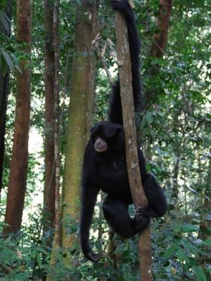 Black gibbon NP Gunung Leuser