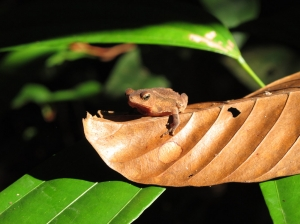 Frog in amazon rainforest