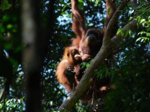 Orangutan in NP Gunung Leuser